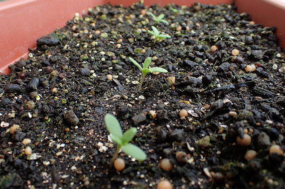 シュンギクの芽