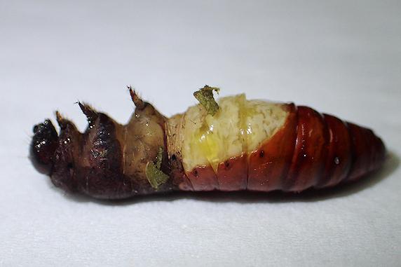 ヨトウムシ、蛹化失敗