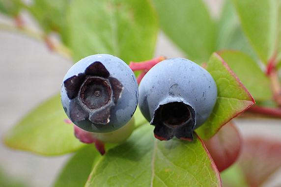 ブルーベリーのつまみ食いの季節