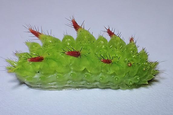 カエデにいたアカイラガの幼虫