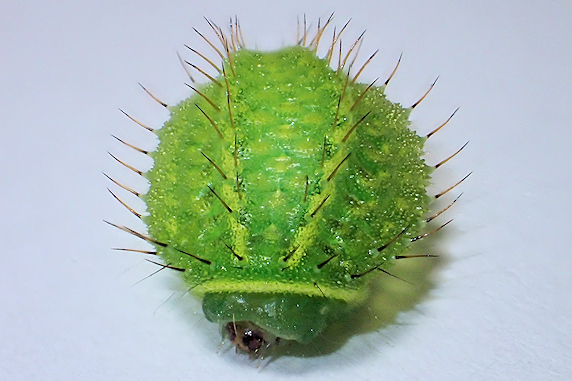 カエデにいたウスムラサキイラガの幼虫