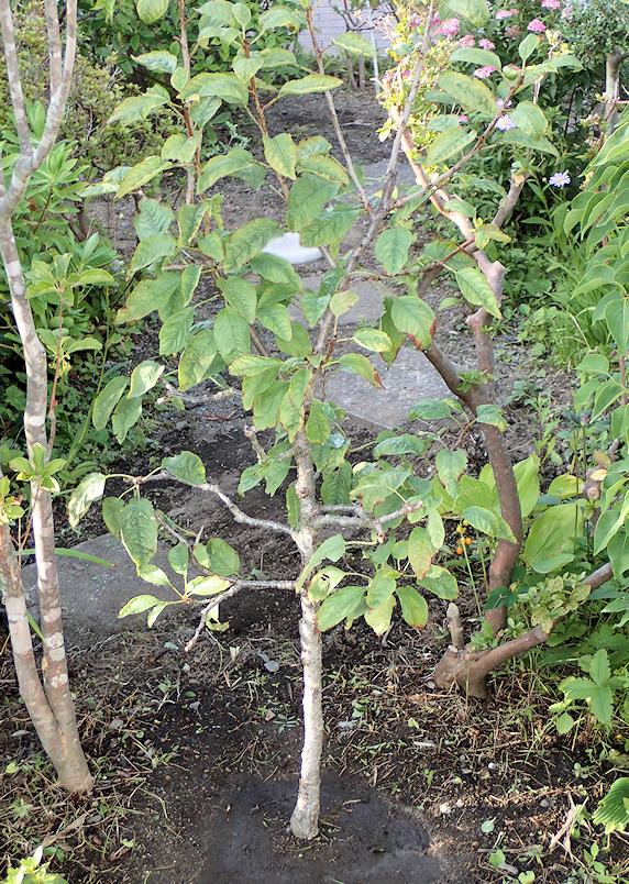 サクランボを庭に定植