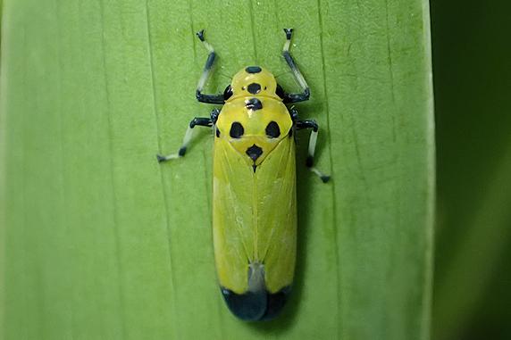 ツマグロオオヨコバイの幼虫と成虫