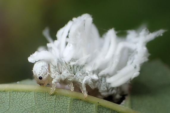 白いもふもふのババシロアシマルハバチの幼虫