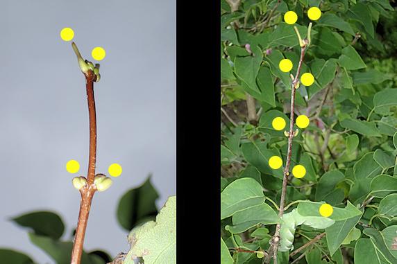 枝を移動したシモフリスズメの幼虫