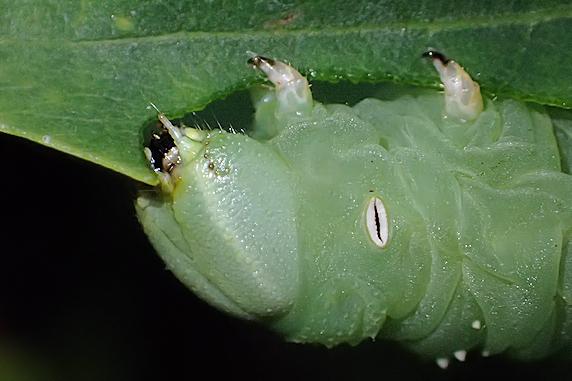 今日も元気なシモフリスズメの幼虫