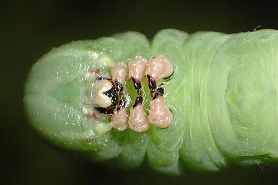 でっかくなった幼虫