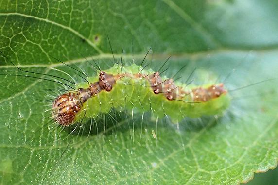 小梅にサクラケンモンの幼虫発見