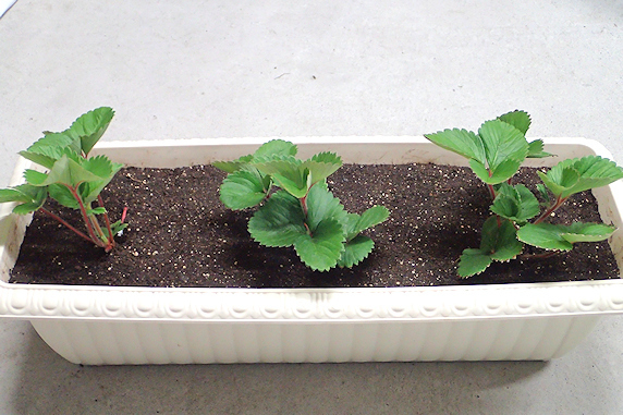 四季なりイチゴの孫株の定植