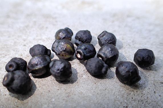 オシロイバナの種の収集