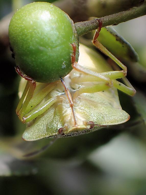 イヌツゲの実を吸汁するエゾアオカメムシ
