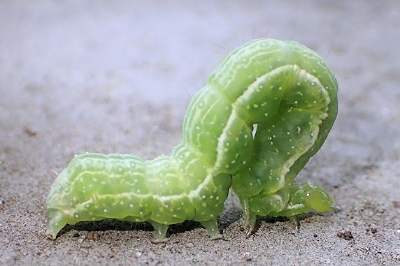 青紫蘇にウワバ系の幼虫