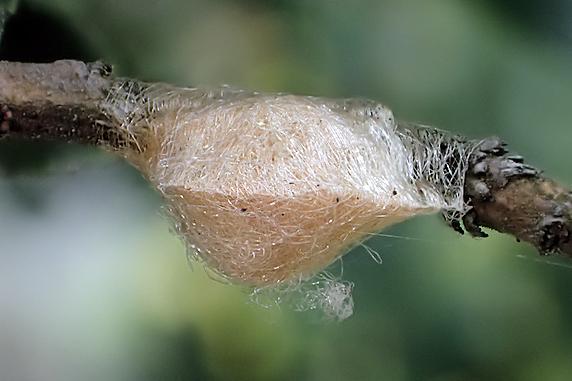 クモの卵のう
