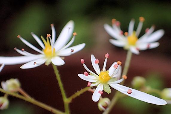 ダイモンジソウが開花