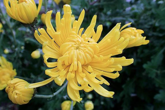 食用菊が開花