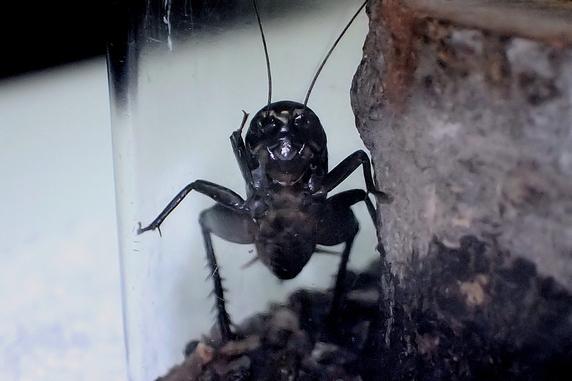 【動画】保護中のエンマコオロギが鳴いた