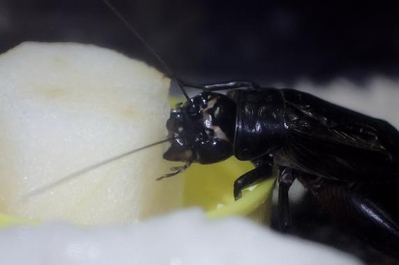 リンゴを食べるエンマコオロギ