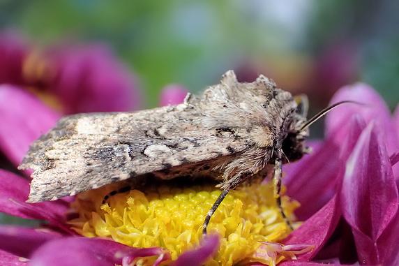 秋の菊とウワバ系の蛾