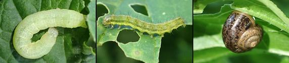 大根の葉にいた幼虫