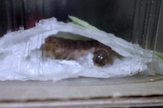 蛹室形成を開始したヨトウムシ