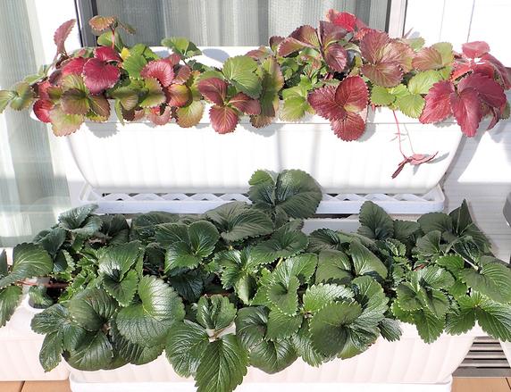 越冬準備の四季なりイチゴ