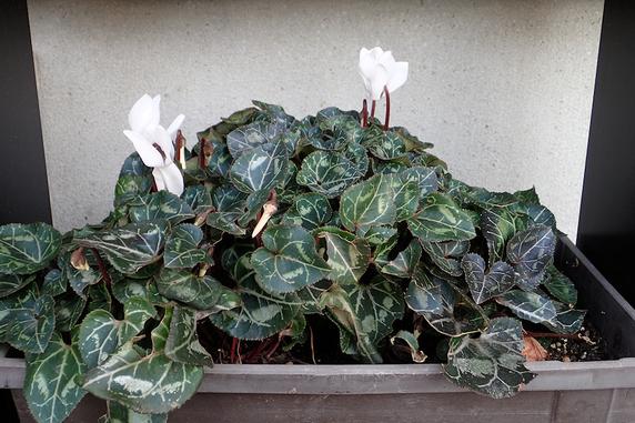 ミニシクラメンまとめ植え