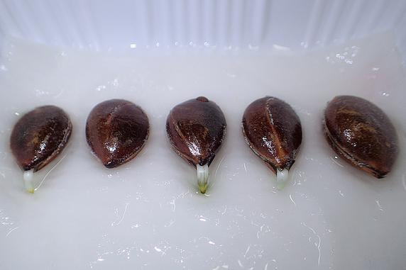 富有柿が発根