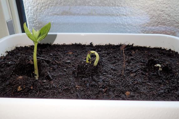 [タイムラプス動画]富有柿の発芽