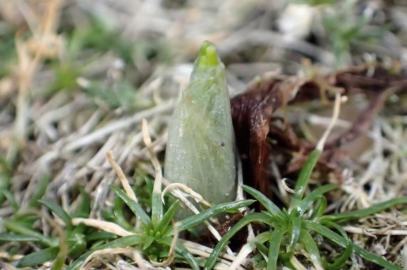 クロッカスが芽を出した