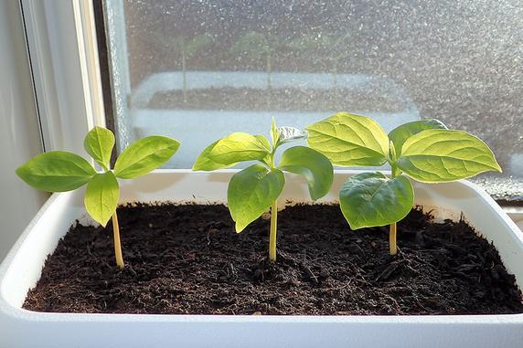 富有柿の生長