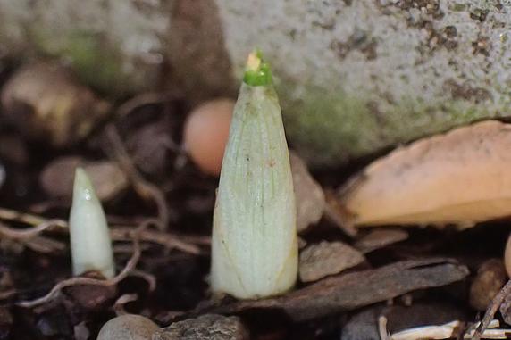野原風花壇のクロッカス発芽