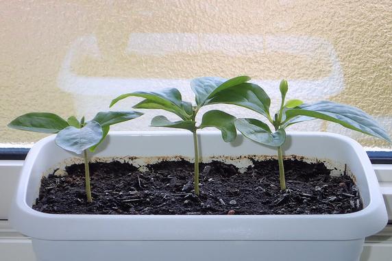 富有柿の脇芽が伸びる