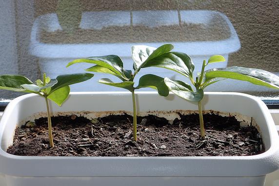 富有柿を再摘心