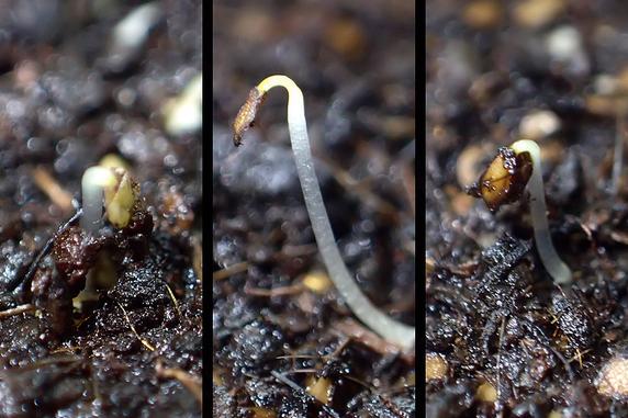 ホトトギスの種が発芽