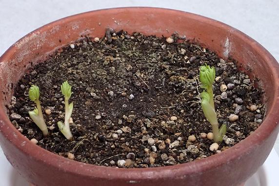 鉢植え福寿草に異変
