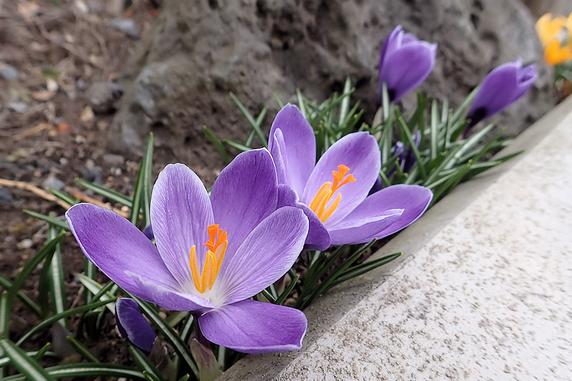 黄色と紫クロッカス