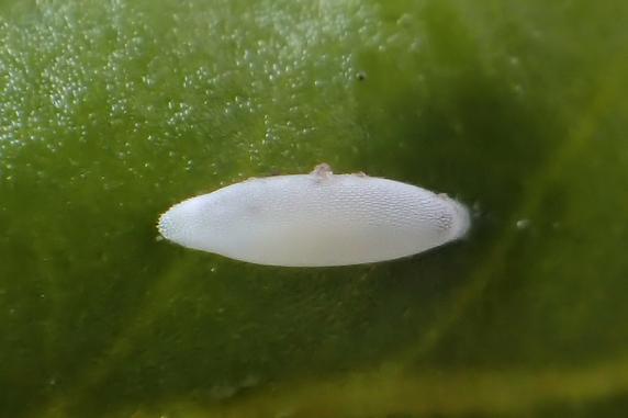 ヒラタアブの卵をまた発見