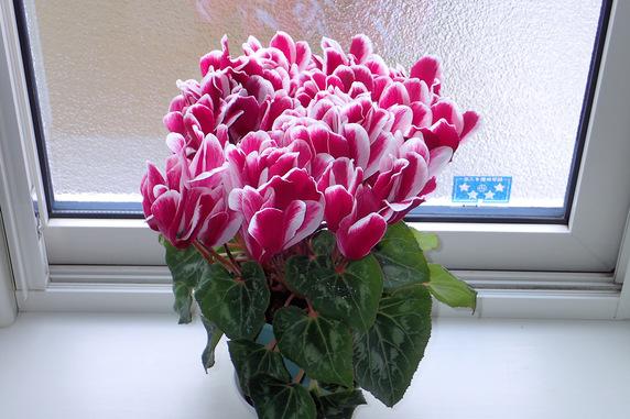 シクラメン全数開花