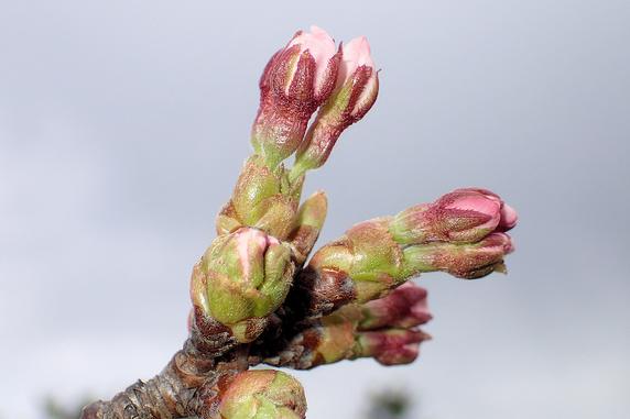 桜のつぼみふくらむ