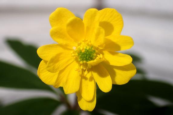 ヤエミヤマキンポウゲの花