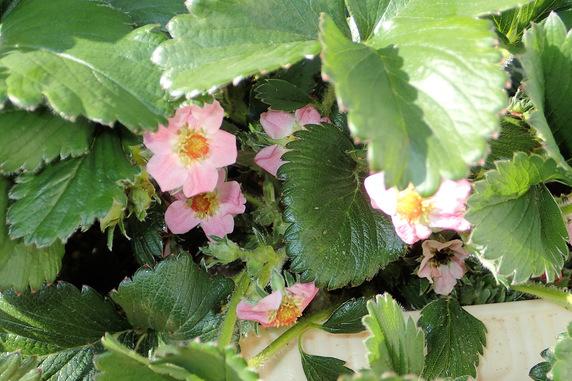 四季なりイチゴにアブラムシ大発生