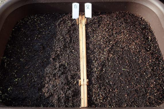 種蒔きしたホトトギスが発芽