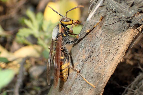 冬眠明けのキアシナガバチの女王バチ