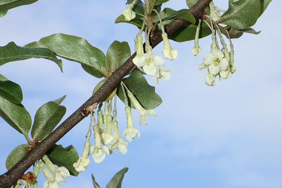 ビックリグミ開花