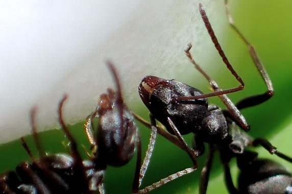 クロヤマアリに蜜です