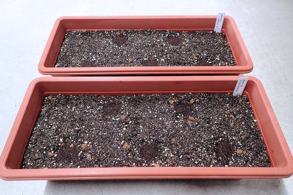 ミニトマト定植とネモフィラの種蒔き