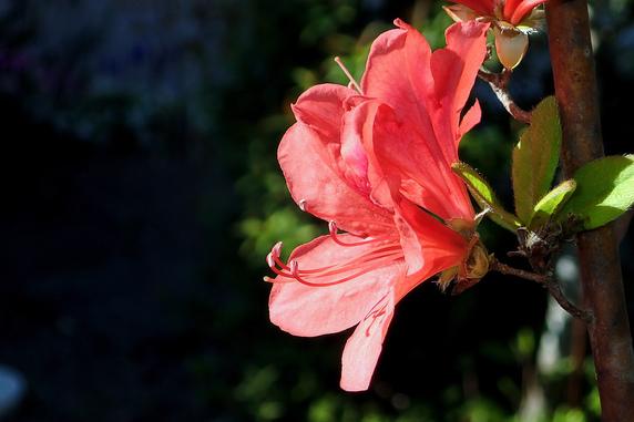 赤いツツジが開花