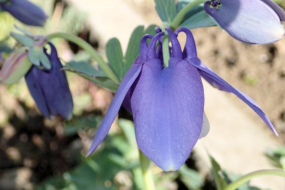 ミヤマオダマキという花