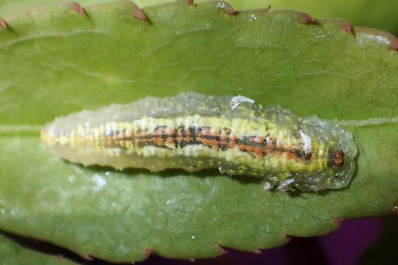 ヒラタアブの幼虫