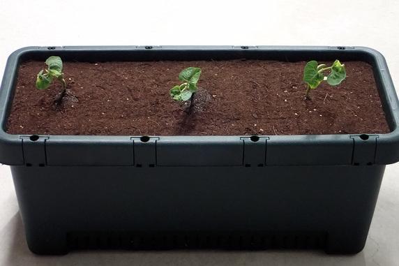 つるありインゲンなどを定植